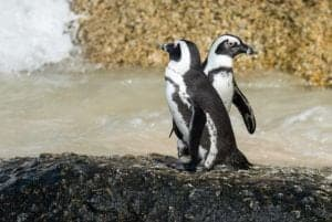Two African penguins next to water.
