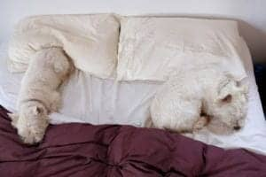 west highland terriers sleeping on a hotel bed